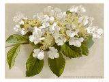Var Tomentosum Japanese Snowball Bush