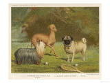 Three Toy Dogs  a Pug an Italian Greyhound and a Yorkshire Terrier
