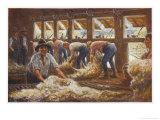 In an Australian Sheep Shearing Shed