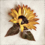 Sand Sunflower