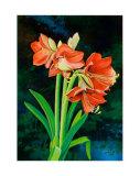 Amaryllis Reproduction d'art par Franz Heigl