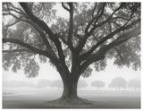Silhouette Oak
