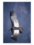 Andean Condor  Adult Female in Flight  Colca Canyon  Southern Peru
