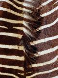 Zebra Skin Detail  Durban  Kwazulu-Natal  South Africa