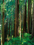Castal Redwood Trees  California  USA