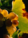 Chenin Blanc Grape Cluster  Napa Valley  California  USA