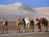 Wild Camels and Sand Dunes in Empty Southeast Quarter of Qatar  Jarayan Al Batnah  Qatar