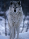 Grey or Timber Wolf (Canis Lupus) in the Alaskan Snow  Alaska  USA