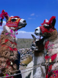 Llamas in Full Dress from the Alto Plano (High Plain) Region  Puno  Peru