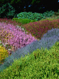 Flowering Heathers at Thompson Gardens  Mendocino  California  USA