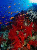 School of Anthias Near Red Soft Coral on Abu Nuhas Reef in Red Sea  Suez  Egypt