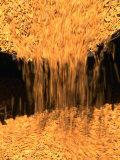 Chinese Rice Harvest  Beijing  China