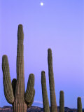 Saguaro Cacti (Carnegiea Gigantea) and High Full Moon Superstition Mountains  Arizona  USA
