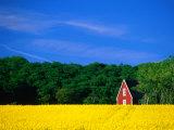 Rape Field  Red House and Forest  Kullaberg Skane  Kullaberg  Skane  Sweden