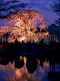 Giant Cherry Blossom Tree in Maruyama Park  Kyoto  Japan