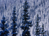 Pine Forest on Hillside Aspen  Colorado  USA