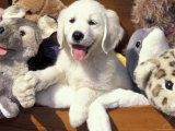 Golden Retriever Puppy with Toys
