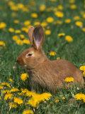 New Zealand Breed of Domestic Rabbit  Amongst Dandelions