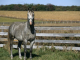 Lipizzaner Horse  Temple Farm  Wadsworth  Illinois  USA