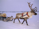 Reindeer  Pulling Sledge  Saami Easter  Norway