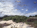 Tern Colony on Tubbataha Reef Philippines
