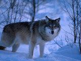European Grey Wolf Male in Snow, C Norway Papier Photo par Asgeir Helgestad