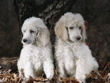 Standard Poodle Dog Puppies  USA