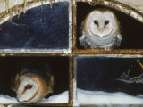 Barn Owls Looking out of a Barn Window Germany Papier Photo par Dietmar Nill