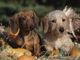 Dachshund Dog Puppies  Smooth Haired and Wire Haired