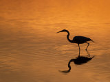 Heron Wading at Sunset  Ding Darling Nr  Sanibel Is  Florida  USA