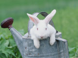 New Zealand Rabbit in Watering Can  USA