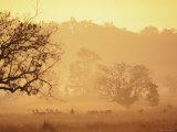 Chital Deer (Axis Axis) at Dawn  Kanha National Park  Madhya Pradesh  India