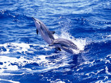 Leaping Clymene Dolphins, Gulf of Mexico, Atlantic Ocean Papier Photo par Todd Pusser