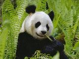 Giant Panda Feeding  Qionglai Mtns  Sichuan  China