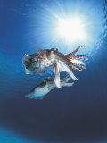 Broadclub Cuttlefish Mating  Sulu-Sulawesi Seas  Indo-Pacific