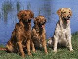 Three Golden Retrievers  USA