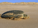 Green Turtle Returns to Sea after Laying Eggs  Ras Al Junayz  Oman