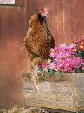 Domestic Chicken  Americana Breed  USA