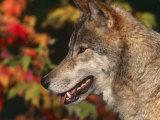Grey Wolf  Head Profile  Montana  USA