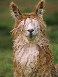 Alpaca Portrait  Altiplano  Bolivia