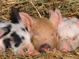 Piglets Sleeping, USA Papier Photo par Lynn M. Stone