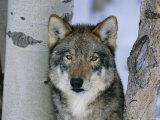 Grey Wolf Head Portrait, Us Papier Photo par Lynn M. Stone