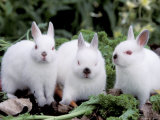 Domestic Rabbits  Netherlands Dwarf Breed  Small and White Variety