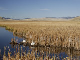 National Elk Refuge  Wyoming  USA  with Pair of Trumpeter Swans at Nest (Cygnus Cygnus Buccanitor}