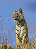 Tiger  Viewed from Below  Bandhavgarh National Park  India