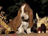 Basset Hound Puppy