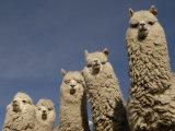 Alpacas, Andes, Ecuador Papier Photo par Pete Oxford