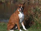 Boxer Dog Sitting  Illinois  USA