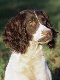 English Springer Spaniel Dog  USA
