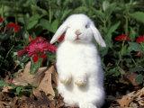 Pet Domestic Holland Lop Eared Rabbit